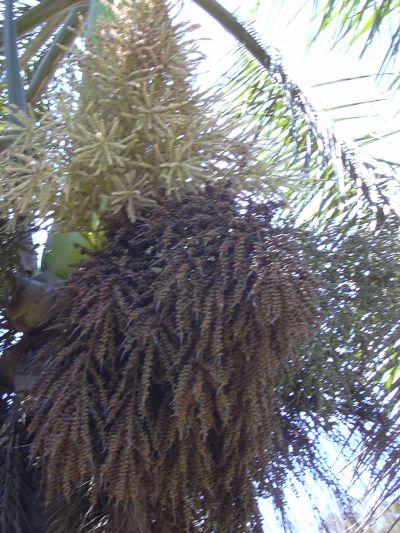Foto der Die Früchte der Königspalme